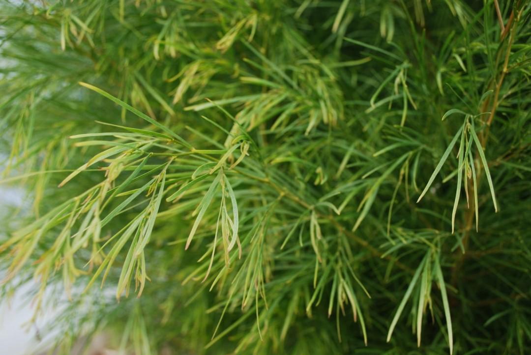 Acacia Green Screen (PBR)