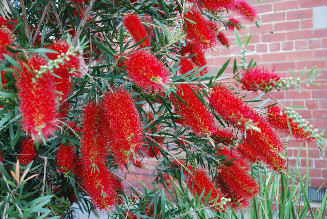 Callistemon Kings Park Special