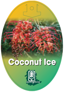 Grevillea Coconut Ice