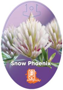 Ptilotus Snow Phoenix