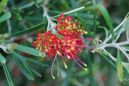 Grevillea Mini Marvel