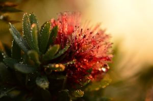 """Callistemon Little John"" by Sherrie Clemson"
