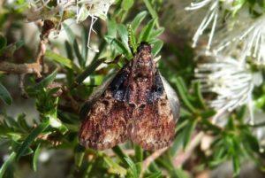 Webbing Moth