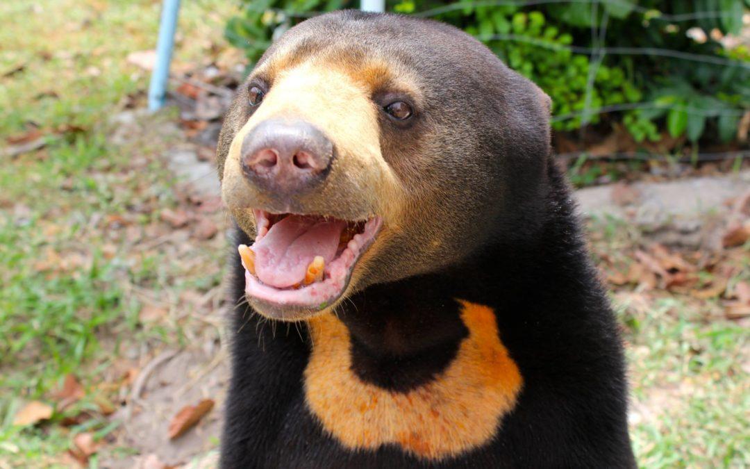 Helping Bears With Grevillea Woolly Bear Hero