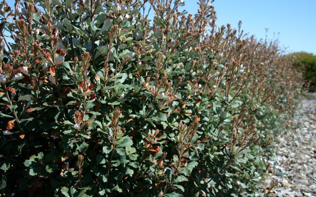 Happy Hedging With Austraflora