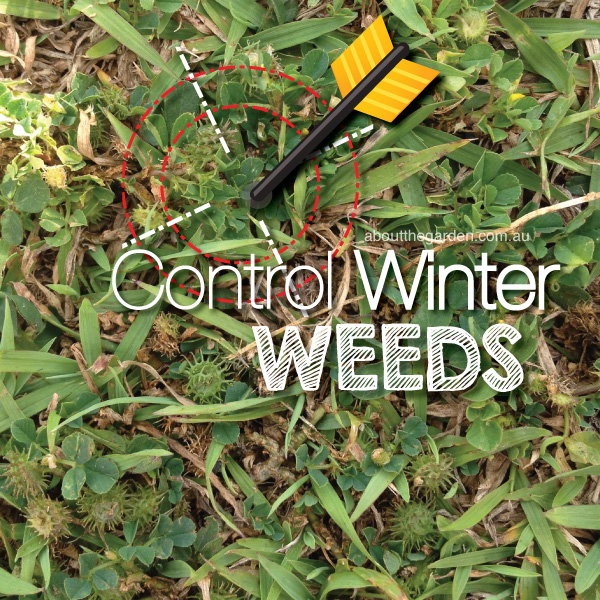 Control Winter Weeds