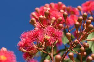 """Corymbia ficifolia"" by Helen Albion"
