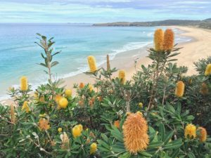 """Banksia integrifolia at Seal Rocks NSW"" by Natasa Vukoman"