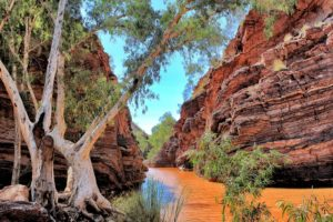 """Eucalyptus at Hamersley Gorge WA"" by Donna Colliver"