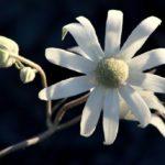 """""""Actinotus helianthi"""" by Nina Horvath"""
