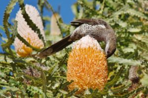 """""""Banksia prionotes"""" by Gary Tate"""