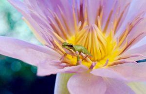 """Nymphaea violacea"" by Melanie Powell"