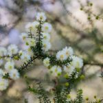 """Acacia sp."" by Iveeh Coombs"