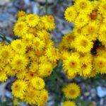 """Xerochrysum bracteatum"" by Alison Underwood"