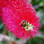 """Callistemon sp."" by Raymond Green"