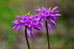 """Sowerbaea laxiflora"" by Gary Tate"