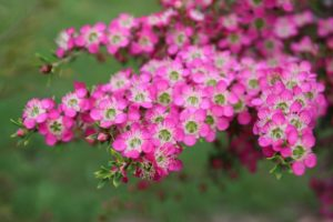 """Leptospermum sp."" by Helen Albion"