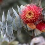 """""""Eucalyptus rhodantha"""" by Helen Albion"""