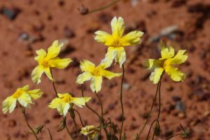 """Goodenia sp."" by Marian Crawford"