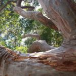 """Angophora costata"" by Lyndy Winter"