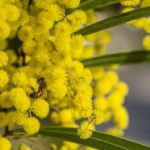 """Acacia sp."" by Janet Edwards"