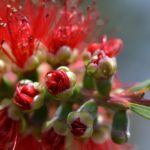 """Callistemon sp."" by Emma Collins"