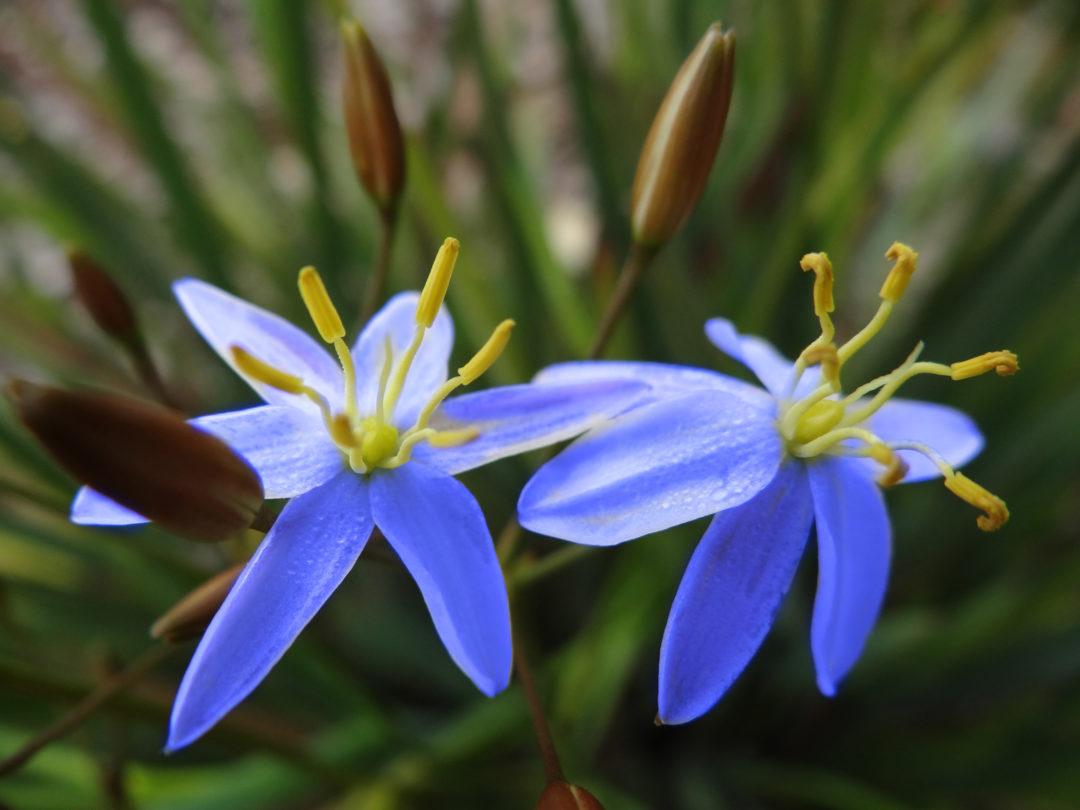 Thelionema Dark Blue
