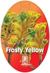 Anigozanthos Frosty Yellow