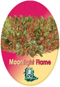 Acmena Moonlight Flame