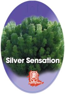 Adenanthos Silver Sensation