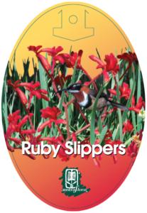 Anigozanthos Ruby Slippers