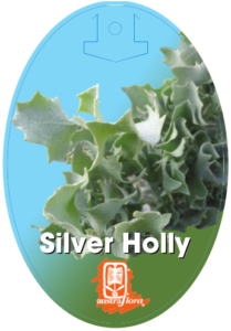 Atriplex Silver Holly