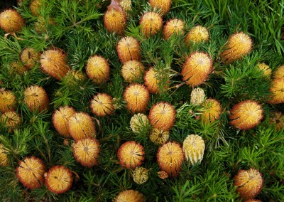 Banksia Tucker Time Birthday Candles
