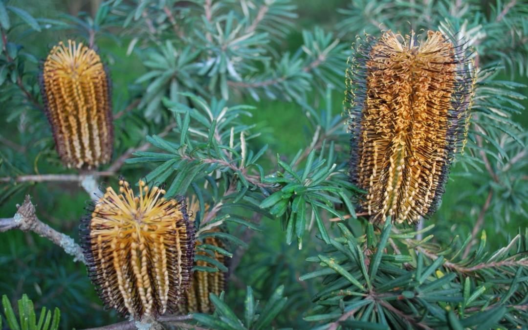 Banksia Black Magic