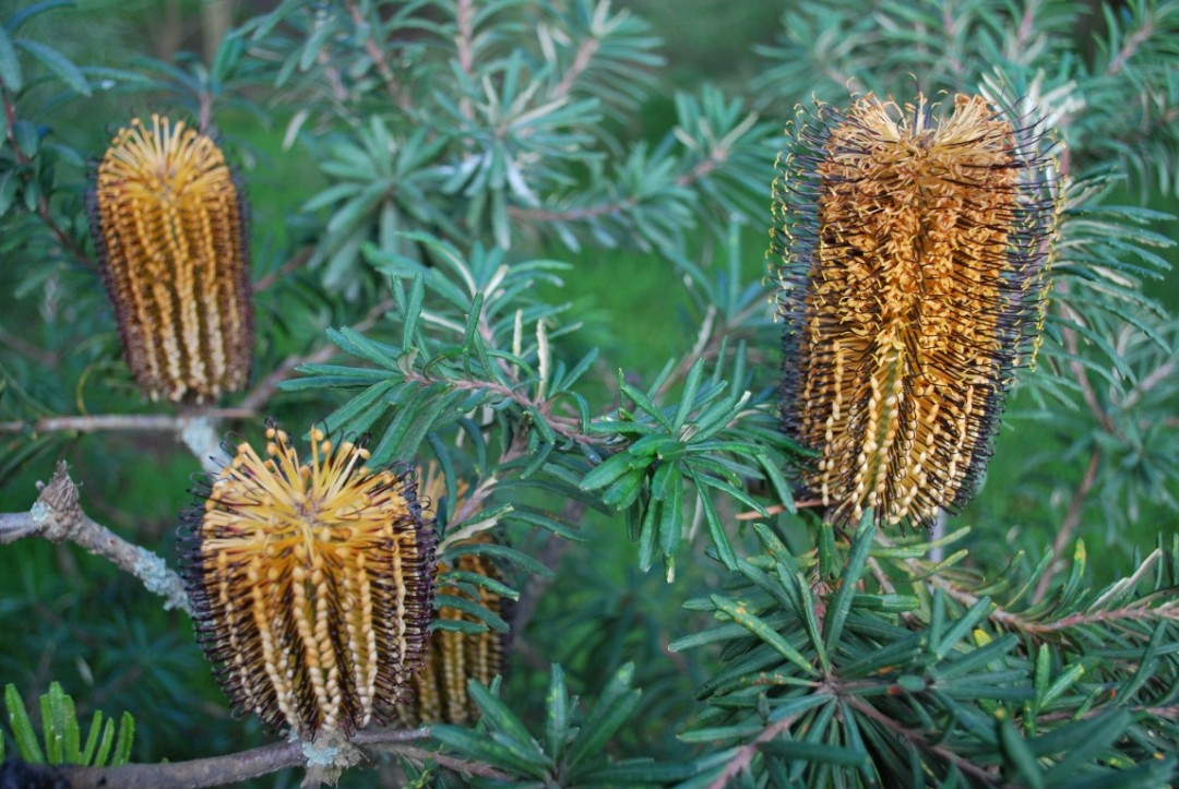 Banksia Black Magic