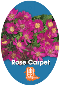 Bauera Rose Carpet