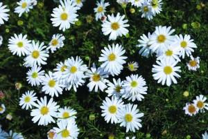 Brachyscome-White-Bliss-1