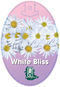 Brachyscome White Bliss