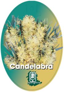 Callistemon Candelabra