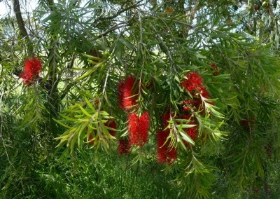 Callistemon Edna Walling Scarlet Willow