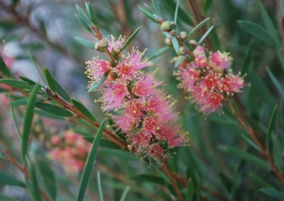 Callistemon Sugar Candy