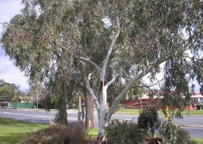 Eucalyptus Little Snowman