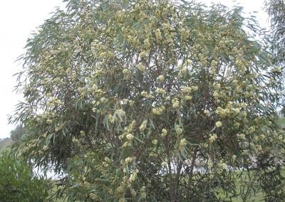 Eucalyptus Tucker Time Honey Pots