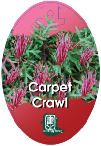Grevillea Carpet Crawl