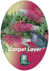Grevillea Carpet Layer