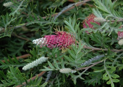 Grevillea Carpet Layer (PBR)