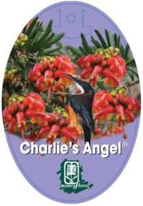 Grevillea Charlies Angel