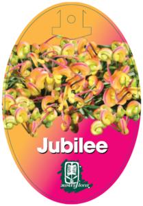 Grevillea Jubilee
