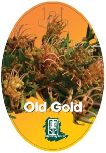 Grevillea Old Gold