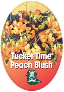 Grevillea Peach Blush